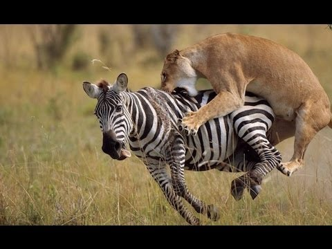 Dokumentär: National Geographic - Wild Attack of The Big Cats